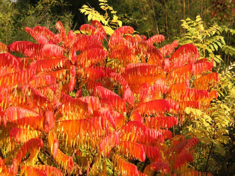 Сумах оленерогий очень быстрорастущий кустарник (рекомендован для создания быстрых садов - сад за один год)...